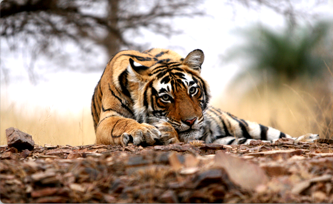 Ranthambore India  city photo : Ranthambore national park, India. – Journal Edge