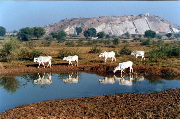 Sacred cows reflected in still waters in India