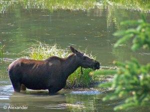 Kenai Peninsula, Alaska, Moose