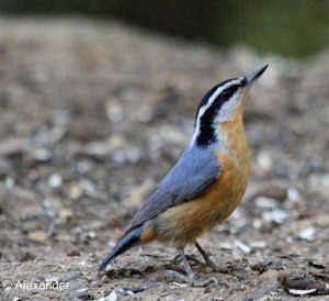 Red-breasted Nuthatch, California